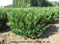 PRUNUS  OTTO LUYKEN  36 to 42 inches